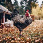 Hühner im eigenen Garten – ja oder nein?